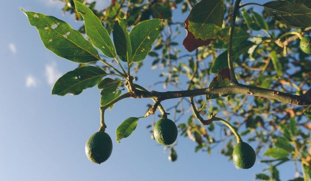 Avocado Trees and Fruits