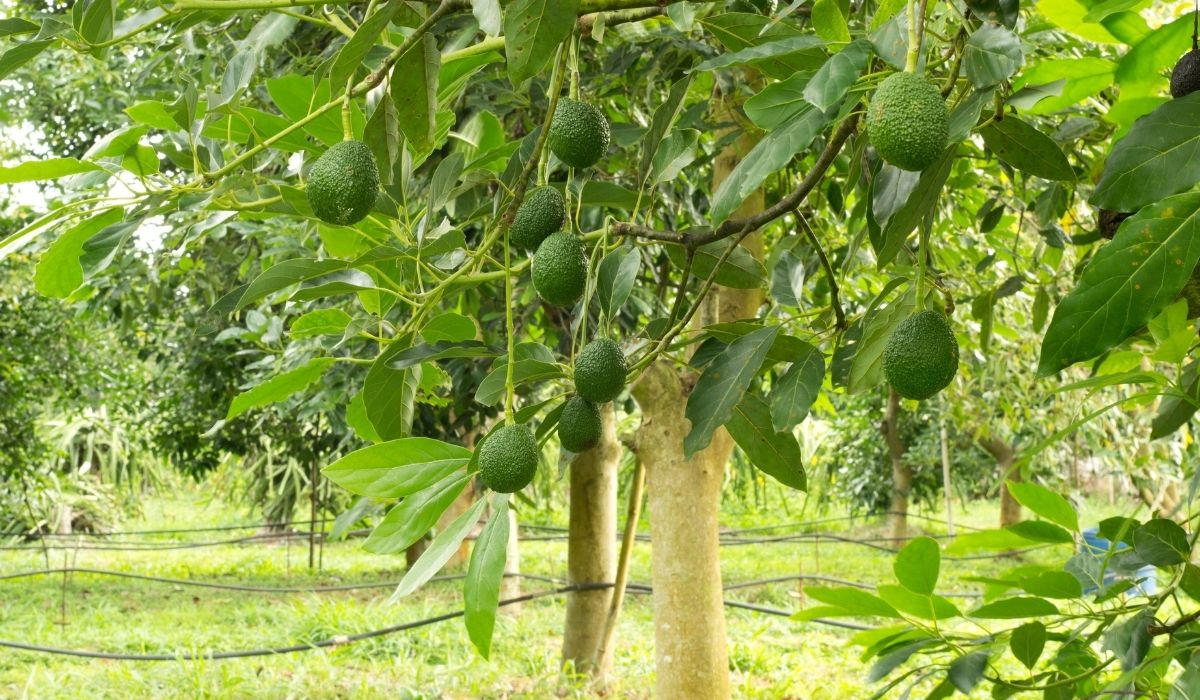 growing avocados on a tree