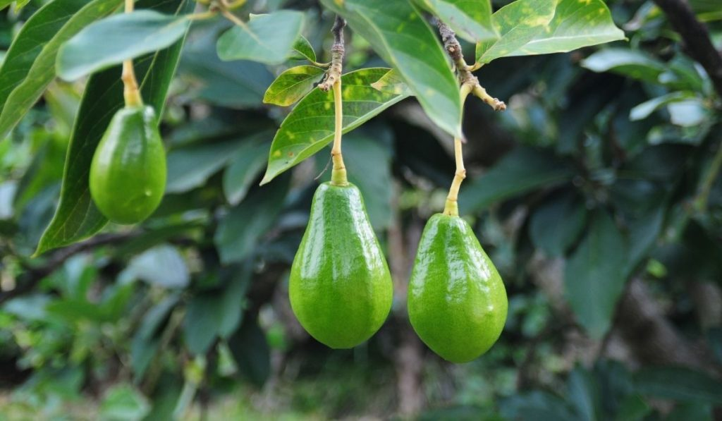 ripe avocados on a tree