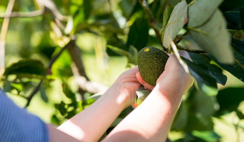 a woman picking avocado from the tree