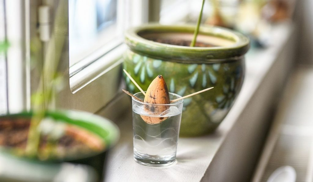 avocado pit in a glass of water for propagation