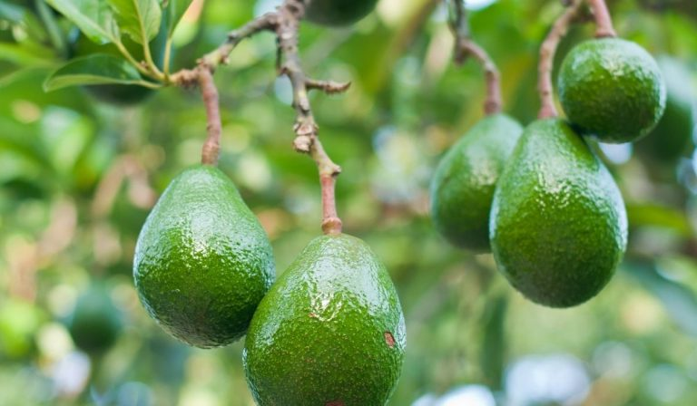 How to Grow Avocados in Florida – Easy Guide